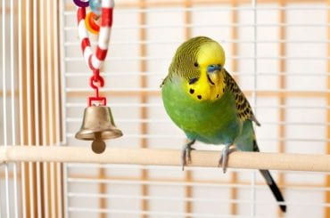 Budgie in Bird Cage
