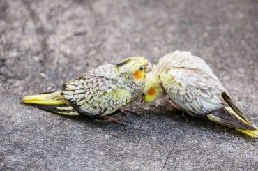 Cockatiels Eating