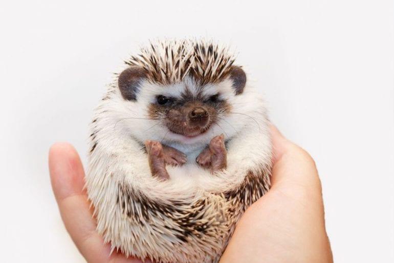 Grumpy Looking Hedgehog