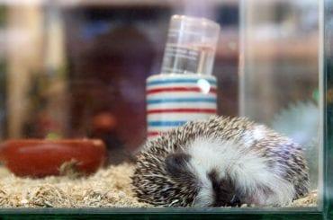 Hedgehog in Cage