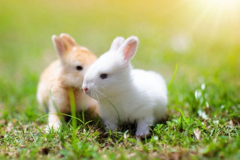 Young Pet Rabbits