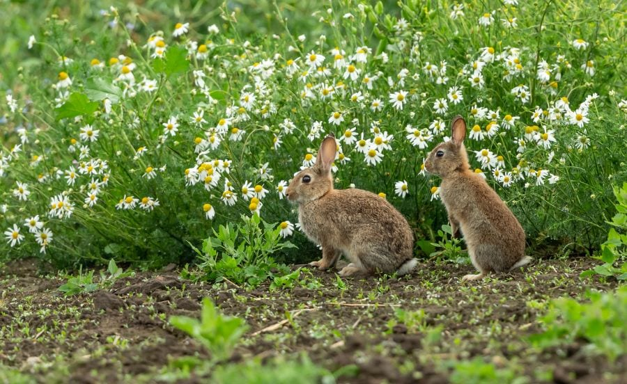 Why Do Rabbits Jump Over Each Other? - Fur, Wings, & Scaly Things