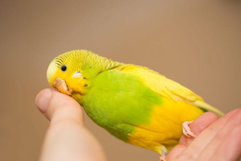 Budgie in Hand