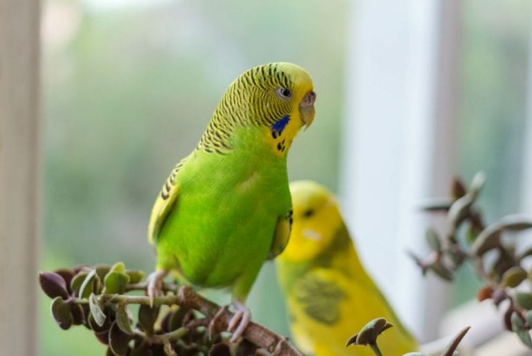 Budgie in House