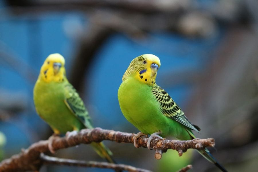 Why Do Budgies Die Suddenly?