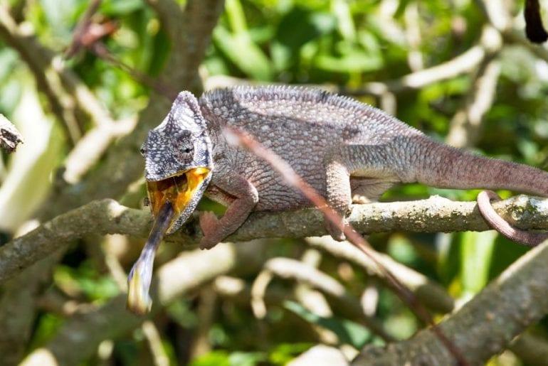Chameleon Eating