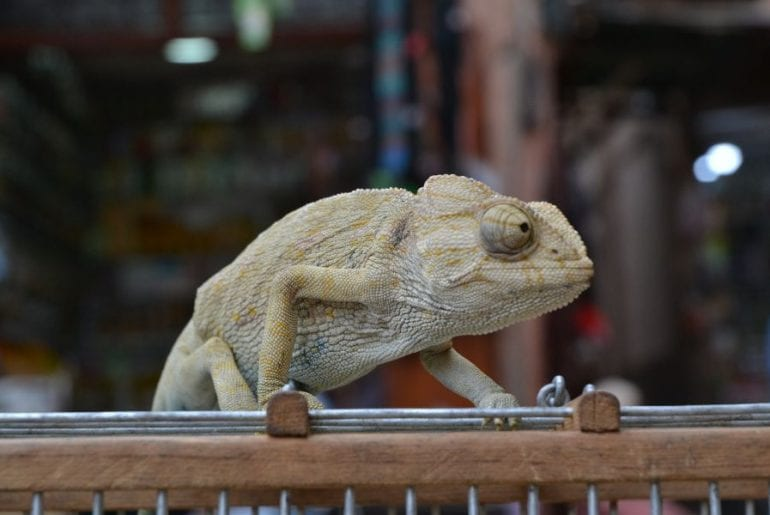 Chameleon on Top of Cage