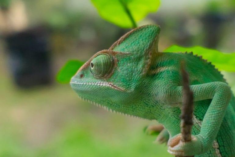 Chameleon on Tree Stem