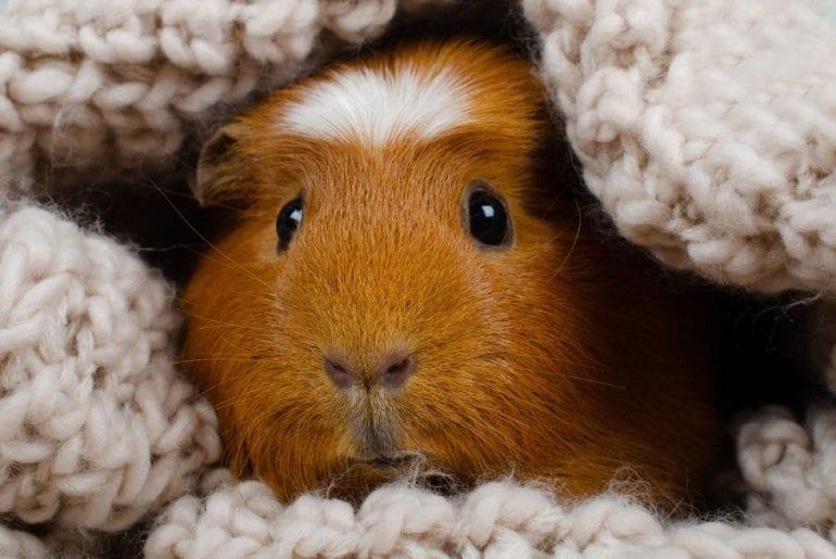 Guinea Pig Hiding