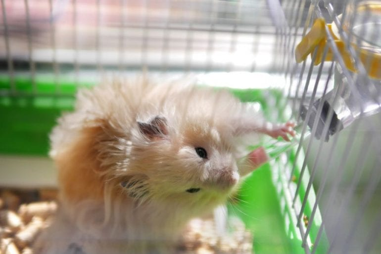 Hamster Drinking Water