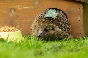 Hedgehog Not Eating