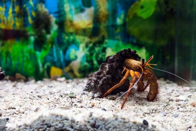 Hermit Crab in Tank