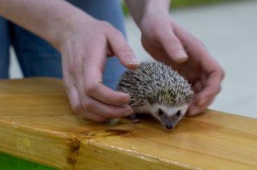 Holding Hedgehog in Hands