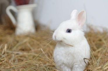 Rabbit Eating Hay