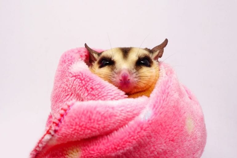 Sugar Glider Wrapped in a Blanket