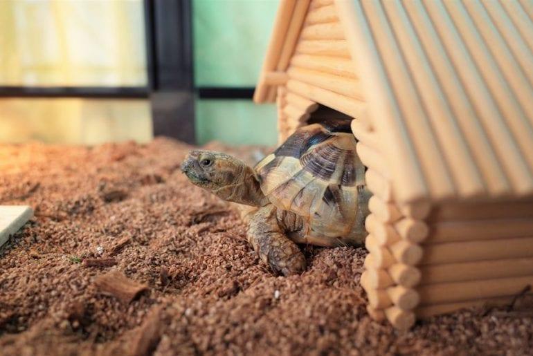 Tortoise in House