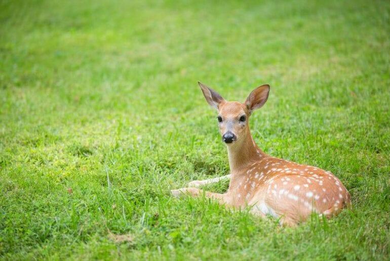 Deer Laying in Yard