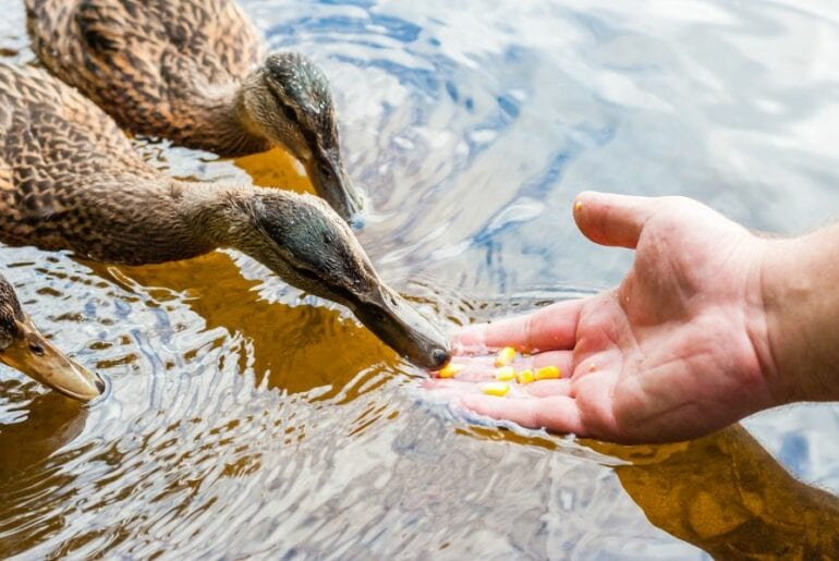 Ducks Eating Corn