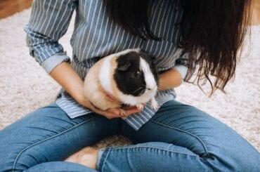 Guinea Pig Being Held