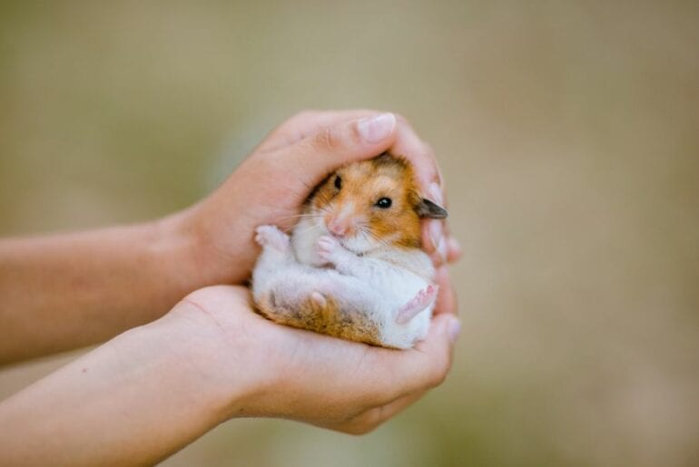 Holding a Small Hamster