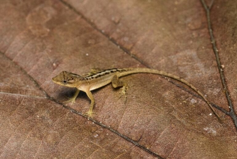 Small Anole