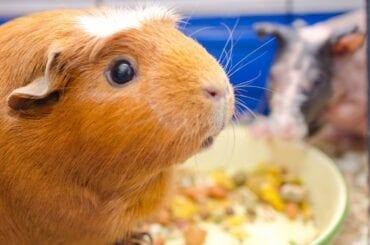 Closeup of Guinea Pig