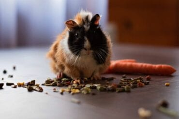 Guinea Pig Surrounded by Food