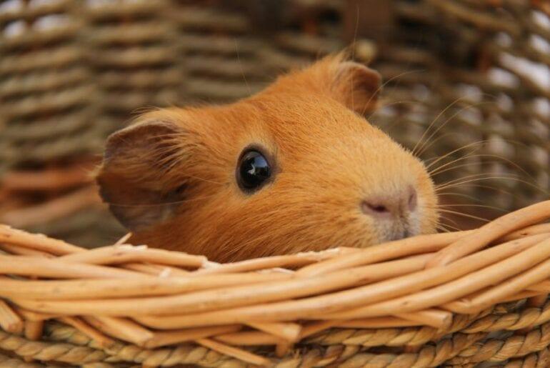 Hamster in Basket