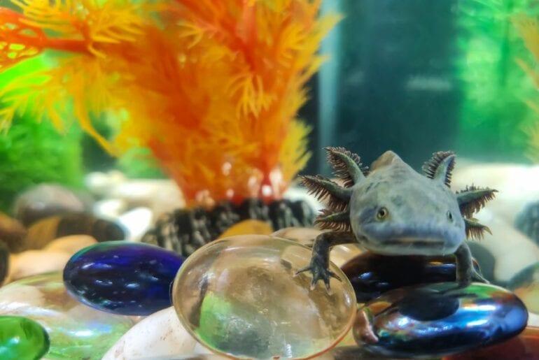 Axolotl in Aquarium