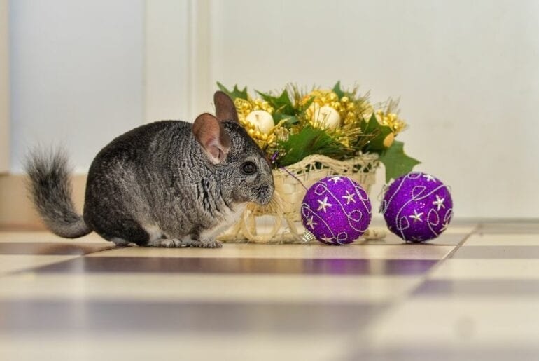 Chinchilla Playing with Ornaments