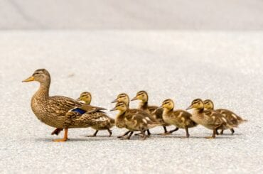 Duck and Ducklings Crossing a Road