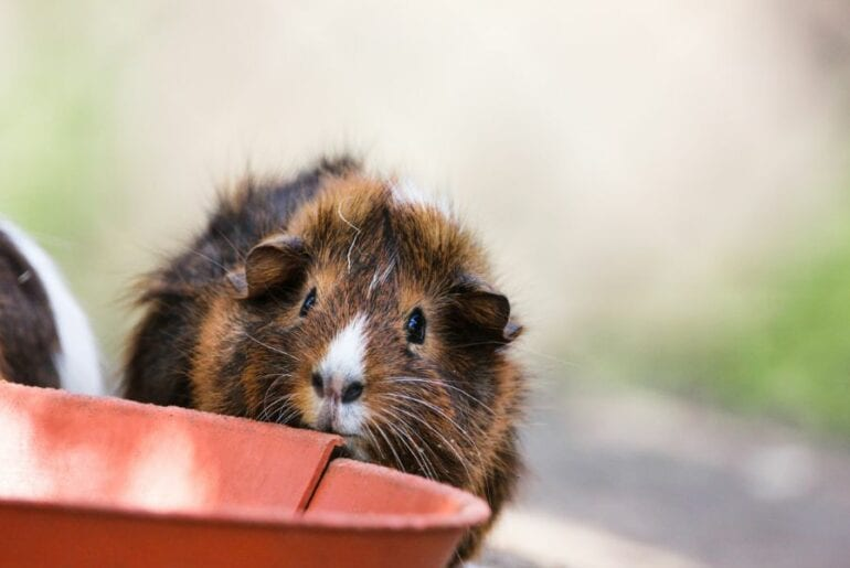 Guinea Pig Near Food Bowl