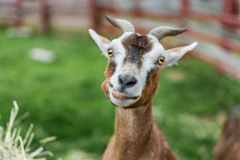 Happy Looking Goat