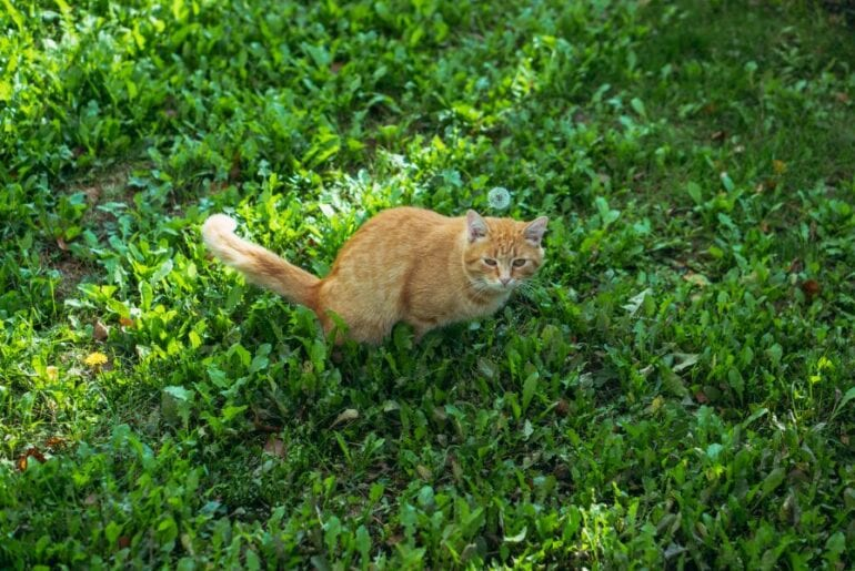 Ginger Cat Pooping on the Lawn