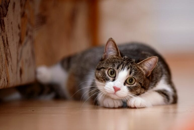 Tabby and White Cat Ready to Play