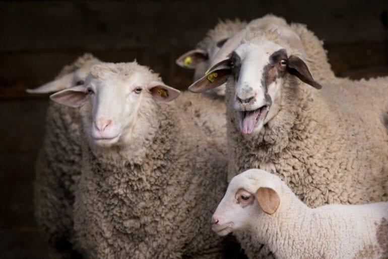 Bleating Sheep in Flock