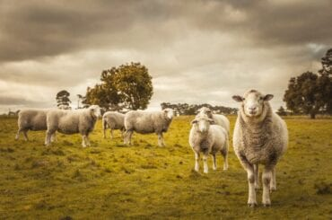 Group of Sheep Grazing in Paddock