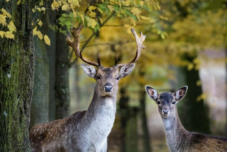 Stag and Young Fallow Deer
