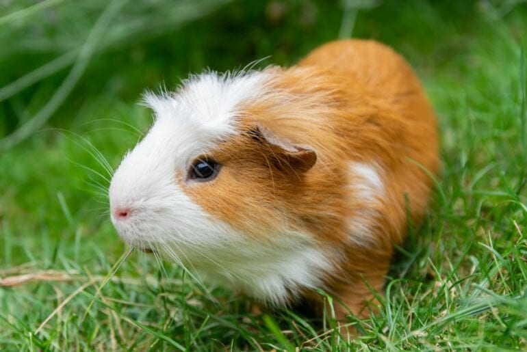 White and Tan Guinea Pig in the Grass