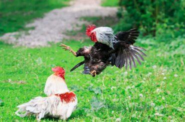 Chickens Fighting