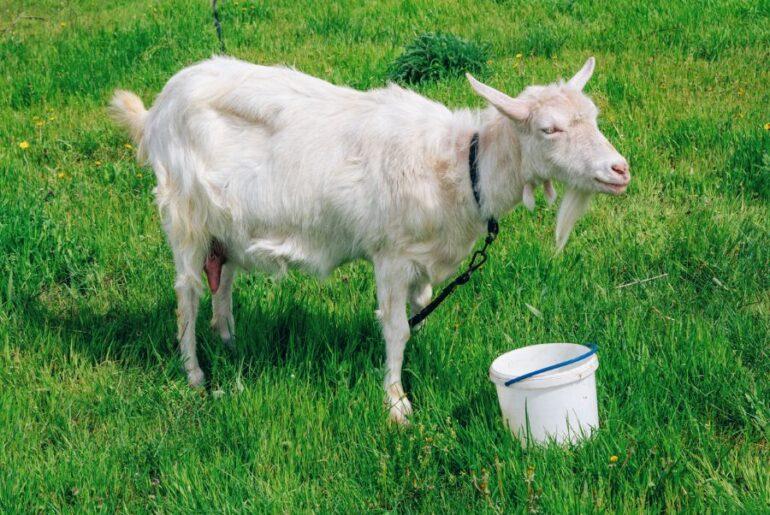 Goat Near Bucket of Water