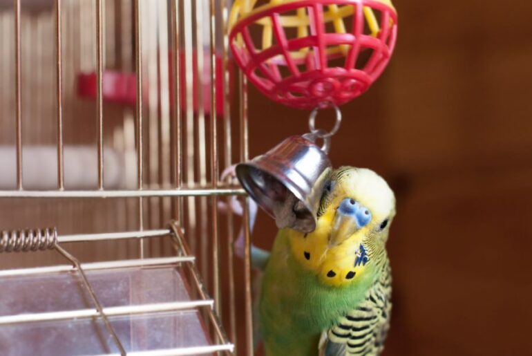 Budgie Playing with Toy Bell
