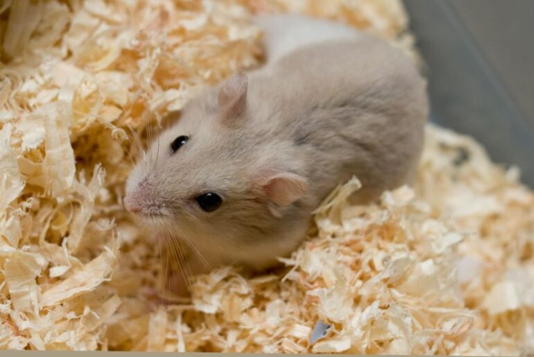 Close Up of Small Hamster