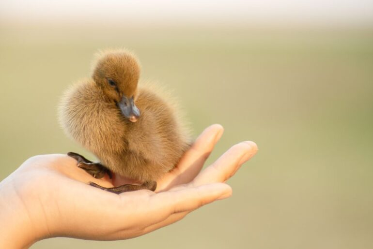 Holding a Duckling