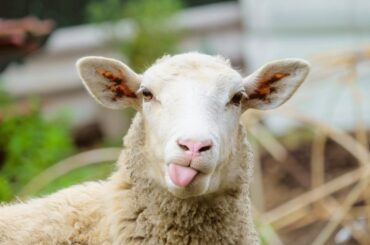 Sheep with Tongue Out